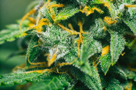 buds of medicinal marijuana. Concepts of legalizing herbs weed, buds cannabis sugar trichomes cbd thc shot, grown cannabis in the house, Bud cannabis before harvest