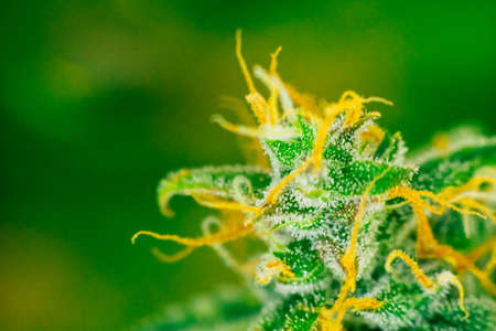 Macro shot with sugar trichomes cbd thc, concepts of grow and use of marijuana for medicinal purposes. Concepts legalizing weed Beautiful buds before. cannabis grow indoor Stock Photo