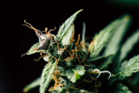 Macro of marijuana cbd thc. Concepts of legalizing medicinal herbs weed, bud cannabis, Macro shot with sugar trichomes, buds grown cannabis in the house, Bud cannabis before harvest