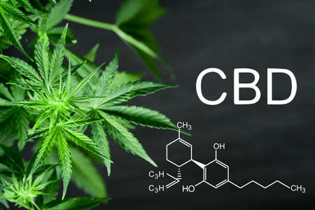 CBD Beautiful background green cannabis flowers copy space