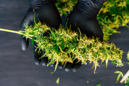A large bud of fresh cannabis harvest in the hands of a male grover concepts of cultivating medical of marijuana top view Stock Photo