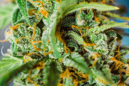 grow buds harvest indoor buds cannabis Macro shot with sugar trichomes. concepts of grow and use of marijuana cbd thc medicinal. Concepts of legalizing herbs weed