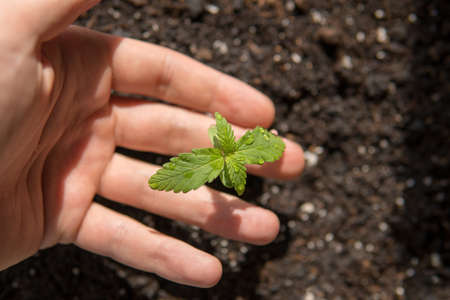 A small plant of cannabis seedlings at the stage of vegetation planted in the ground in the sun, a beautiful background, eceptions of cultivation in an indoor marijuana for medical purposes Banco de Imagens