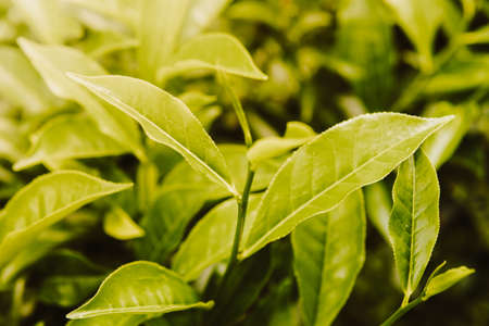 close up Green tea leaves in a tea plantation in morning, selective focus green background Stock Photo