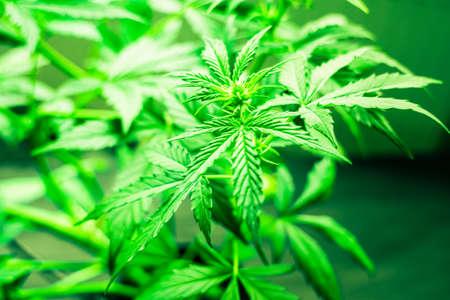 stage of beginning flowering Flower marijuana close-up beautiful background
