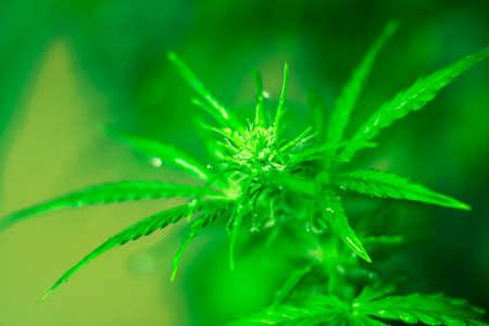 Macro shot cannabis flower in water drops Stock Photo