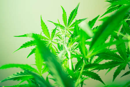 Medical cannabis and legalization of marijuana. Planting weed. Green background. Growing indoor cultivation. Marijuana leaves. Marihuana plants close up. Top view. Cannabis flowers.