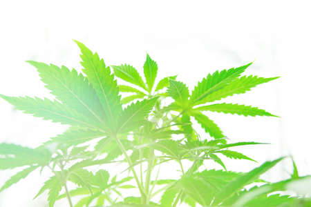 Grow in grow box tent. Cannabis flower Indoor growing. Northern light strain. Planting cannabis. Home Grow legal Recreational cannabis. Marijuana business.