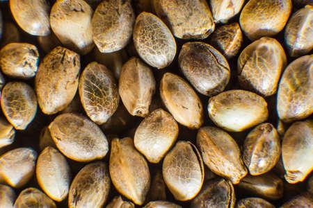 Organic Hemp seed. Macro detail of marijuana seed. Close up. Hemp seeds background in macro. Many Cannabis seeds. Stock Photo