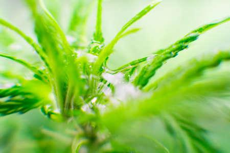 Northern light strain. Recreational legal cannabis. Macro photography. Cannabis flower. Marijuana leaves.