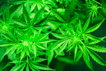 Beautiful background green cannabis flowers copy space Stock Photo