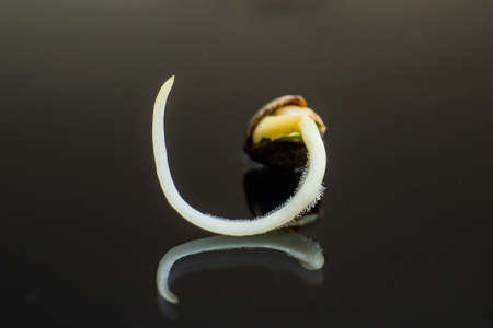 cannabis seeds cultivated . Germinated cannabis seed. Details Root on a black background, Sprouting cannabis seeds. close-up macro.