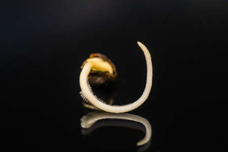 Germinated cannabis seed. Details Root on a black background, Sprouting cannabis seeds. close-up macro. Sale of cannabis seeds . Hovering Hemp . Stock Photo