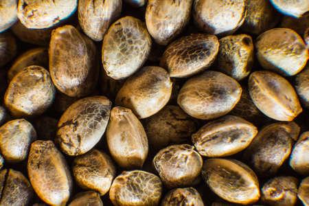 Macro detail of marijuana seed. Close up. Hemp seeds background in macro. Many Cannabis seeds. Organic Hemp seed. Stock Photo