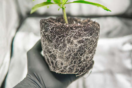 CBD in Marijuana Roots. Professional cannabis cultivation grow. Cannabis transplantation. In the hands of the grower, the beautiful roots of the marijuana plant. Macro healthy cannabis roots. Imagens
