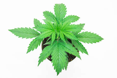 Beautiful background. Marijuana leaves. Close up. Indoor cultivation. Vegetation period. Cannabis on a black background isolate. Cannabis Plant Growing.