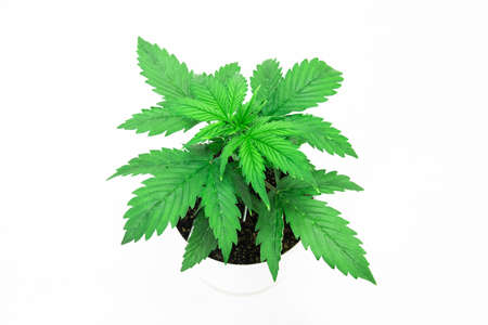 Vegetation period. Cannabis on a black background isolate. Cannabis Plant Growing. Beautiful background. Marijuana leaves. Close up. Indoor cultivation.