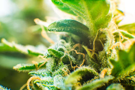 Medicinal indica with CBD. Young cannabis plant. Macro shot of cannabis bud. Trichomes of marijuana flower with THC and CBD. Green background of flower.