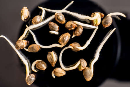 Macro photo cultivation seeds. Germinated cannabis seed. Sprouting cannabis seeds. Hovering Hemp. Cannabis seeds. close-up macro. Details Root on a black background. Sale of cannabis seeds. Stock Photo