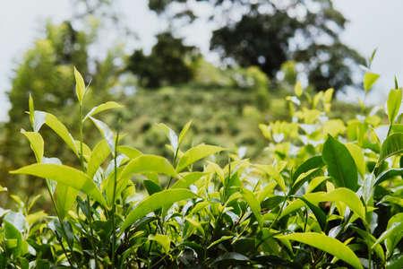 close up Tea bud and leaves. Tea plantations, Sri Lanka green background