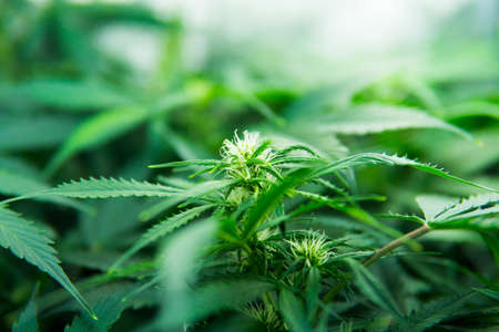 In door grow hemp. Green background of leaves. Young cannabis plant. Legal Marijuana cultivation in the home. Medicinal indica with CBD. Cannabis at the beginning of flowering. Stock Photo