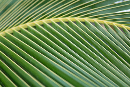 Striped of palm leaf, Abstract green texture background, Vintage tone Stock Photo