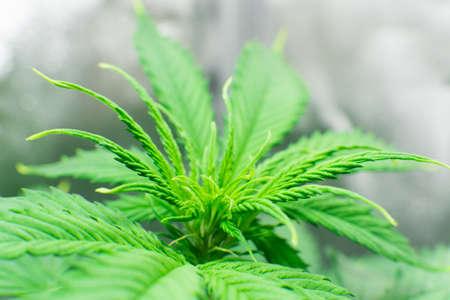 Planting cannabis. Home Grow legal Recreational Marijuana. Macro shot. Marijuana business. Cannabis grow operation. Hemp flower Indoor growing. Stock Photo