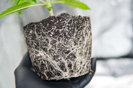 Professional cannabis cultivation grow. Roots In the hands of the grower, the beautiful roots of the marijuana plant. CBD in roots Marijuana. Macro healthy cannabis roots. Stock Photo