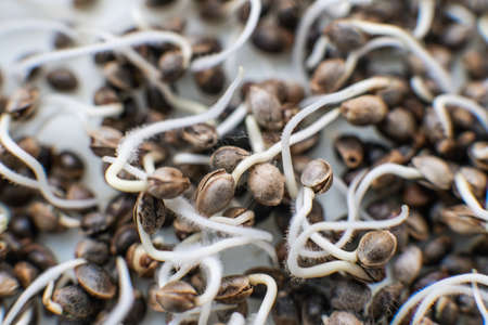 Hovering Hemp. Sale of cannabis seeds. Details Root on a white background. Macro photo cultivation seeds. Marijuana seeds. Many sprouting cannabis seeds. close-up macro. Germinated cannabis seed. Stock Photo