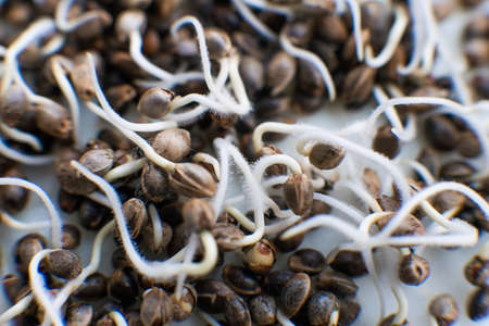 Marijuana seeds. Germinated cannabis seed. close-up macro. Sale of cannabis seeds. Hovering Hemp. Macro photo cultivation seeds. Details Root on a white background. Many sprouting cannabis seeds.