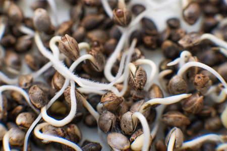 Marijuana seeds. Many sprouting cannabis seeds. close-up macro. Germinated cannabis seed. Hovering Hemp. Sale of cannabis seeds. Macro photo cultivation seeds. Details Root on a white background.
