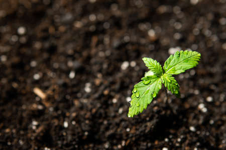 A cannabis seedling, small plant . Macro Seedling in the ground in the sun,cultivation in an indoor marijuana, The stage of vegetation hemp. 写真素材