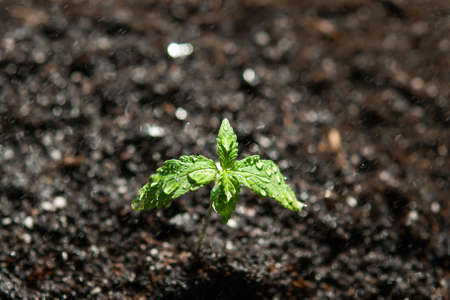 A cannabis seedling of small plant. The stage of vegetation hemp. Seedling in the ground in the sun, cultivation in an indoor marijuana Macro. Reklamní fotografie