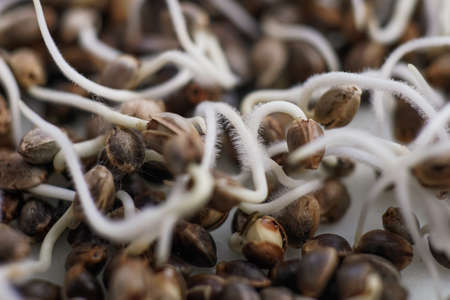 Many sprouting cannabis seeds. Root on a white background. Marijuana seeds. Sale of cannabis seeds. Hovering Hemp. close-up macro. Macro photo cultivation seeds. Germinated cannabis seed. Stock Photo