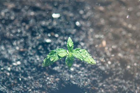 A cannabis seedling of small plant. cultivation in an indoor marijuana Macro. The stage of vegetation hemp. Seedling in the ground in the sun, light leaks color tones