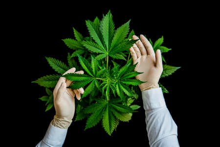 Growing cannabis indica, cultivation cannabis, marijuana vegetation plants, marijuana leaves, background green, hemp CBD, top view