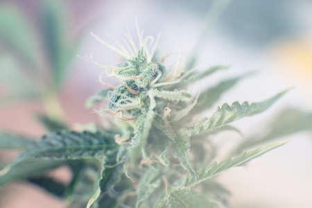 Macro shot with sugar trichomes. Bud cannabis before harvest. Indica and Sativa medical universities Cannabis bud. Concepts of legalizing herbs weed. medicinal marijuana cbd thc. Standard-Bild - 125025212