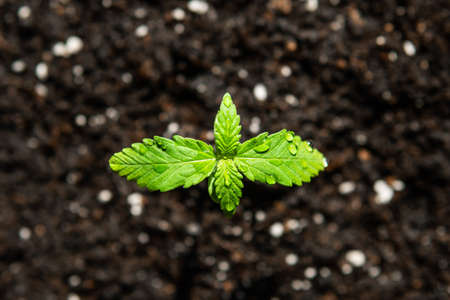 A cannabis seedling of small plant. Seedling in the ground in the sun, cultivation in an indoor marijuana Macro. The stage of vegetation hemp.