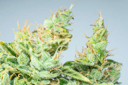 Macro trichomes cannabis. Indica flower. CBD THC in Pot. Marijuana bud close up. Fresh green weed In details. On blue background Banco de Imagens