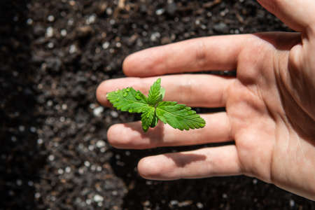 A cannabis seedling of small plant. cultivation in an indoor marijuana, Macro Seedling in the ground in the sun, The stage of vegetation hemp. Standard-Bild - 125025251