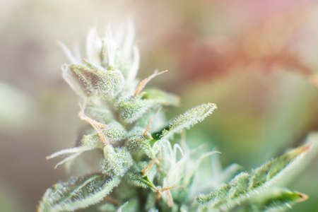 Macro shot with sugar trichomes. buds grown cannabis in the house. Bud cannabis before harvest. Indica and Sativa medical universities Cannabis bud. Concepts of legalizing herbs weed. Standard-Bild - 125025253