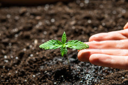 The stage of vegetation hemp. Seedling in the ground in the sun, cultivation in an indoor marijuana Macro. A small plant of cannabis seedlings.