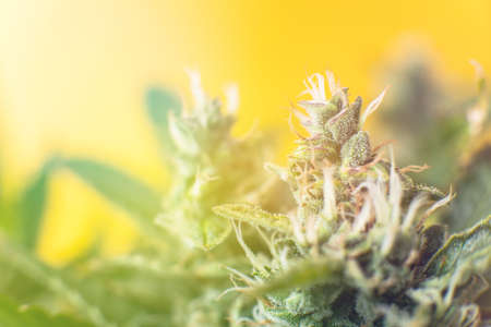 Concepts of legalizing herbs weed. buds grown cannabis in the house. Macro shot with sugar trichomes. medicinal marijuana cbd thc. Bud cannabis before harvest.