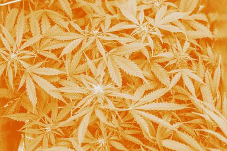 marijuana leaves, Growing cannabis indica, cultivation cannabis, hemp CBD, marijuana vegetation plants top view, background green, Standard-Bild - 125025362