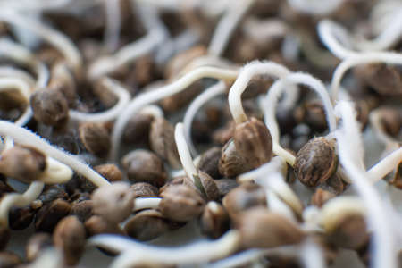Many sprouting cannabis seeds. close-up macro. Germinated cannabis seed. Sale of cannabis seeds. Hovering Hemp. Macro photo cultivation seeds. Details Root on a white background. Marijuana seeds.