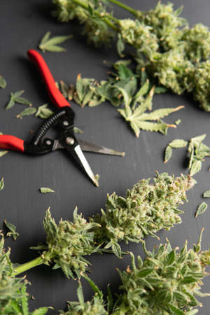 Harvest weed time has come. The sugar leaves on buds. Growers trim their pot buds before drying. Trim before drying. Mans hands trimming marijuana bud. Growers trim cannabis buds. Vertical shot Standard-Bild