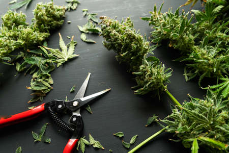 Mans hands trimming marijuana bud. Trim before drying. Growers trim cannabis buds. Harvest weed time has come. Growers trim their pot buds before drying. The sugar leaves on buds.