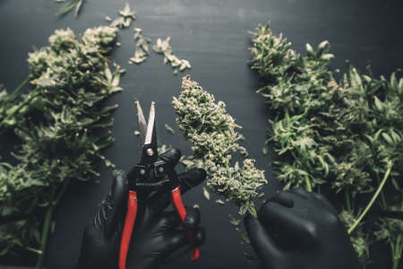 Mans hands trimming marijuana bud. Growers trim cannabis buds. The sugar leaves on buds. Harvest weed time has come. Trim before drying. Growers trim their pot buds before drying. Standard-Bild