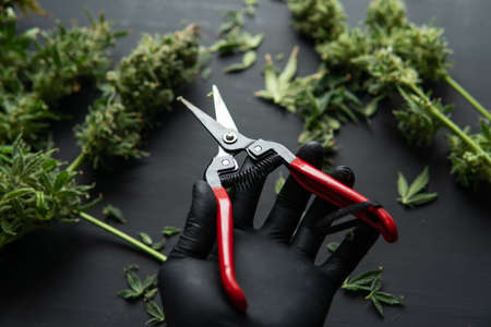 Growers trim cannabis buds. Harvest weed time has come. Growers trim their pot buds before drying. The sugar leaves on buds. Mans hands trimming marijuana bud. Trim before drying. Standard-Bild