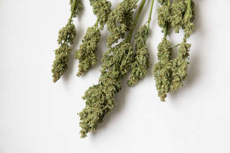 A bouquet of dry cannabis buds. Marijuana close up. Natural medical pot. CBD THC weed. White background .